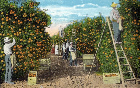 orange-picking-vcw
